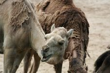 Free Camel Looking Up Stock Photo - 920740