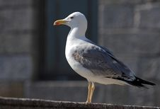 Free Seagull Royalty Free Stock Photo - 920855