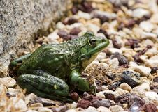 Free Pebble Frog Stock Photos - 921573