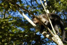 Monkey On A Branch Royalty Free Stock Images