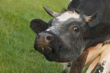 Free Cow Royalty Free Stock Photography - 922927