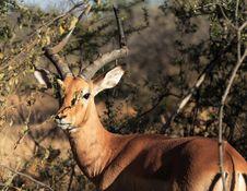 Free Impala Stock Images - 922944