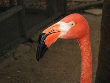 Free Caribbean Flamingo Royalty Free Stock Photography - 923297