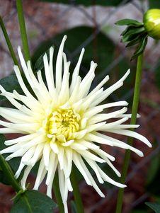 White Dahlia Flower Stock Photo