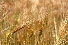 Free Yellow Wheat Field Stock Photos - 924263