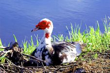Ugly Duckling  1 Royalty Free Stock Photo