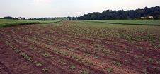 Free Field Of Baby Vegetables Royalty Free Stock Photo - 924475