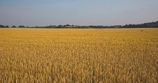 Free Field Of Grain Stock Photo - 924530