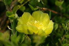 Free Bee And Cactus Bloom Stock Photo - 925090