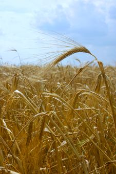 Free Wheat Field Royalty Free Stock Photos - 925168