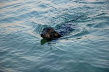 Free Dachshund In The Sea Stock Photos - 925233