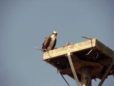 Osprey On Her Nest Royalty Free Stock Photos