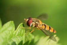 Free Hoverfly Royalty Free Stock Image - 925836
