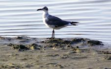 Free Seagull On Shore Stock Images - 926034