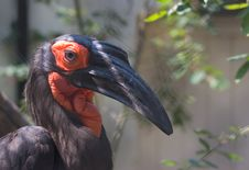 Free African Hornbill Royalty Free Stock Photo - 926235