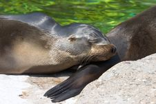 Free Sealion Royalty Free Stock Photos - 926238