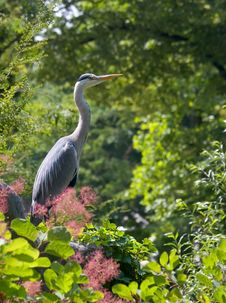 Free Heron In The Green Stock Image - 926241