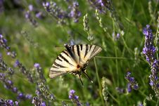Free White Butterfly Royalty Free Stock Image - 926556