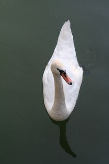 Free Swan 3 Royalty Free Stock Images - 926619