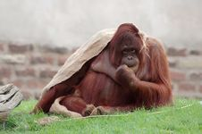 Free Orangutan Stock Photography - 926822