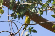 Free Greenfinch On Bough Of Tree Royalty Free Stock Images - 926849