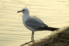 Free Sea Gull Stock Photos - 926923