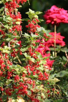 Free Redcurrant Royalty Free Stock Image - 926946
