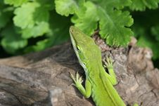 Free Garden Lizard On Driftwood. Stock Image - 927291