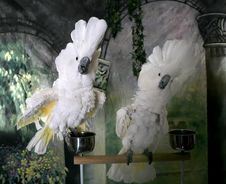 Cockatoos Showing Dominance Royalty Free Stock Photo
