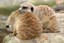 Free Sleepy Meerkats Stock Image - 927731