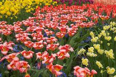 Free Multicolored Flower-bed Of Tulips And Narcissi Stock Photos - 928323