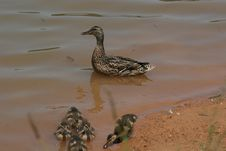 Free Brown Duck Royalty Free Stock Image - 928606