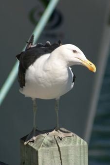 Seagull Watching Stock Images