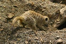 Free Digging Meerkat Stock Photo - 929520