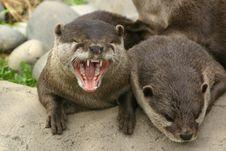 Yawning Otter Stock Photos