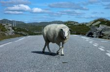 Free Sheep Crossing Road Stock Photography - 929562