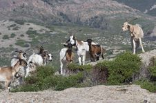 Free Goats Stock Photo - 929690