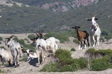Free Goats Stock Images - 929694