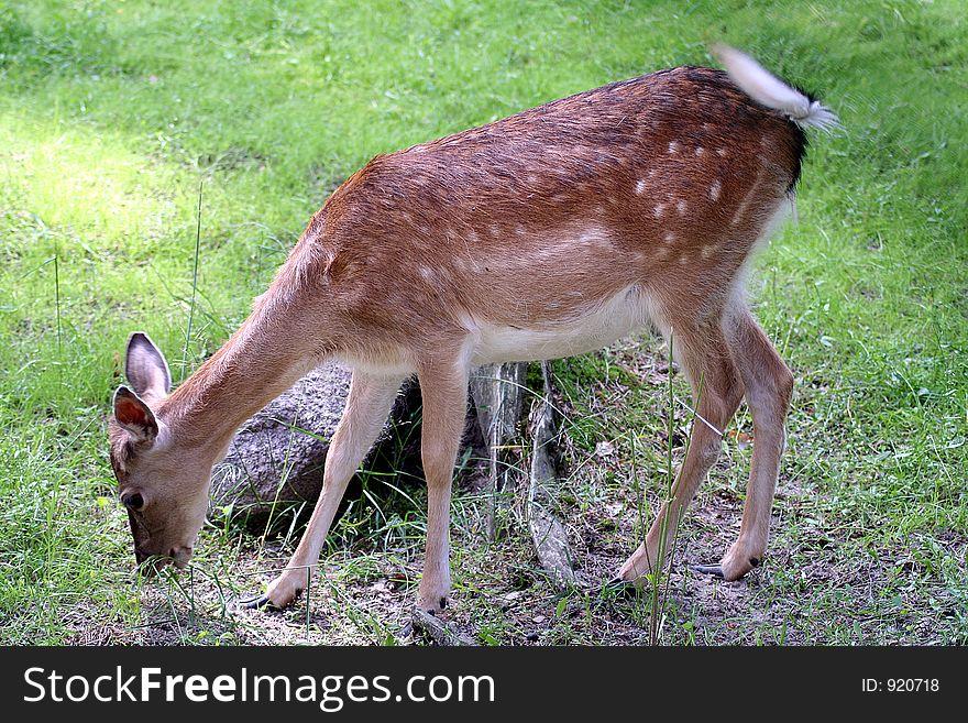 Young Fallow Deer female