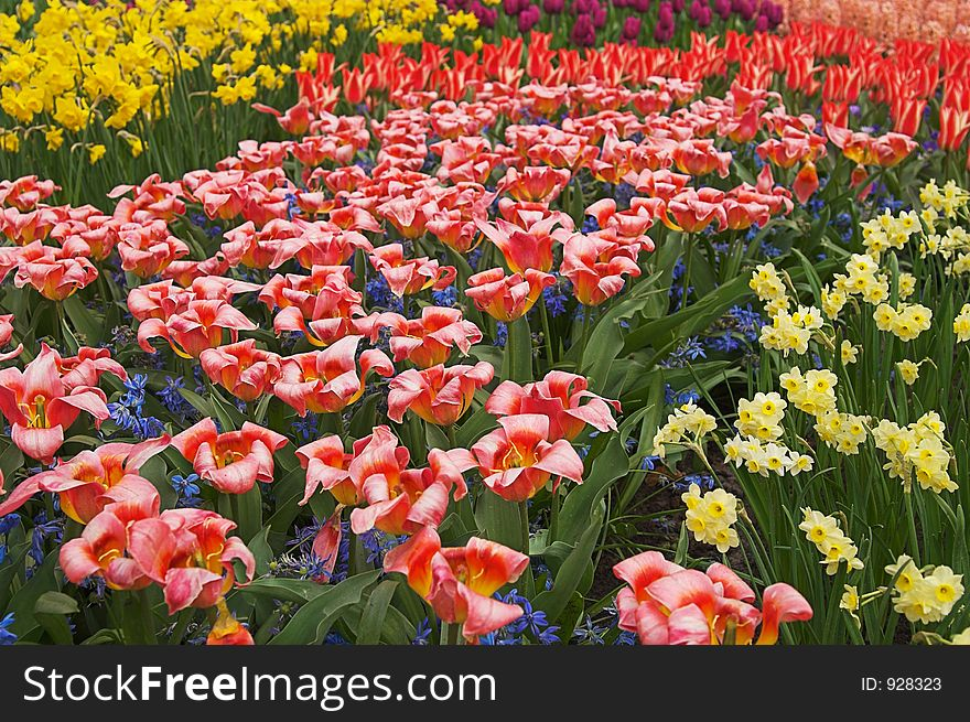 Multicolored flower-bed of tulips and narcissi