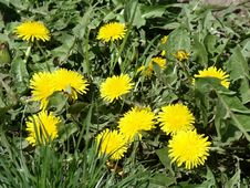 First Dandelions Stock Photo