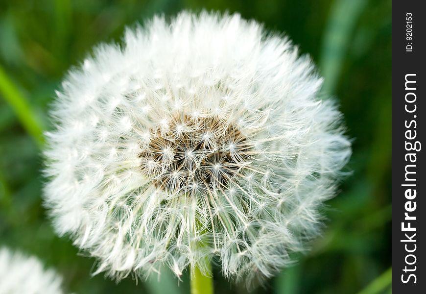 Dandelion head, spring flower