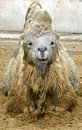 Free Bactrian Camel 12 Royalty Free Stock Photography - 9214787