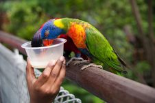 Free Feeding Colorful Parrots Royalty Free Stock Image - 9213036