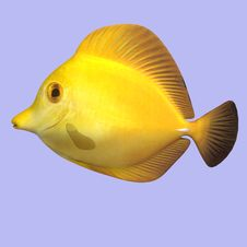 Free Yellow Tang Royalty Free Stock Photo - 9213535