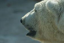 Free Polar Bear Stock Images - 9213554