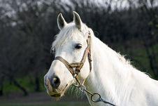 Free Beautiful White Horse Stock Images - 9215764