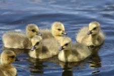 Free Baby Canadian Goslings Royalty Free Stock Photography - 9217637