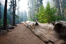 Free Sequoia Royalty Free Stock Photography - 9219137