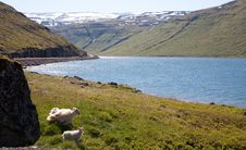 Free Parent And Baby Sheep, Iceland Stock Photos - 9219283